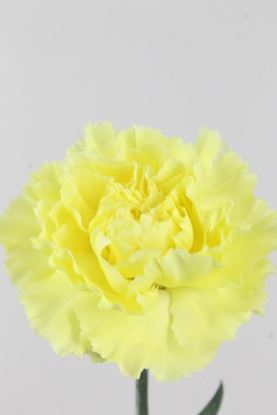 Picture of Carnation Yellow