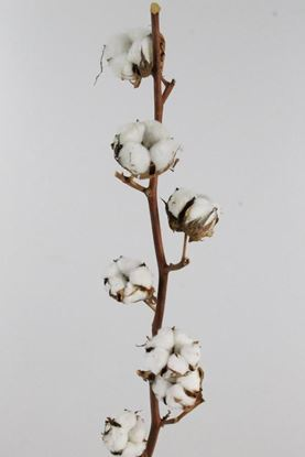 Picture of Cotton