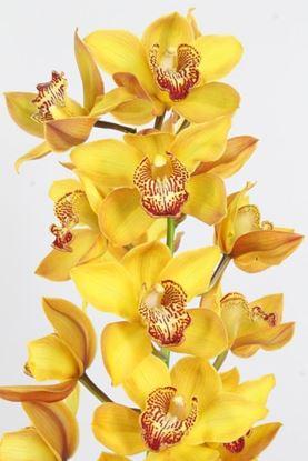 Picture of Cymbidium Orange Yellow