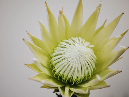 Picture of Protea King, White