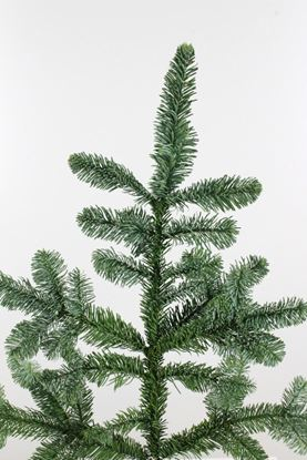 Picture of Abies Nobilis